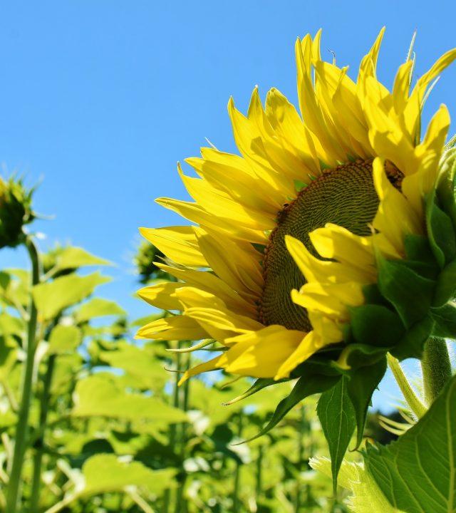 sunflower-3514915_1920